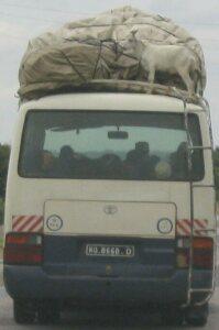 Diese Ziege ist reiselustig, darf aber nur oben auf dem Gepäckträger des Busses mitfahren.