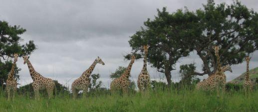 Noch mehr Giraffen