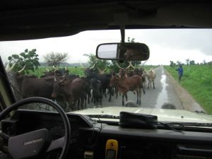 Rinderherde auf der Strasse